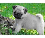 Pug puppies. Pure bred