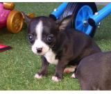 Chihuahua Male and Female Puppies