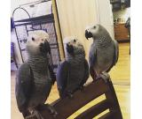 African grey parrots for re homing
