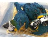 ADULT AND BABY MACAW PARROTS FOR SALE
