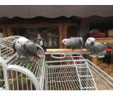 QUALITY HAND REARED BABY AFRICAN GREYS