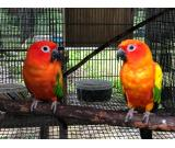 Sun conure Parrots for sale whatsapp +237699461444