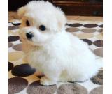 BICHON MALTESE male and famale for sale