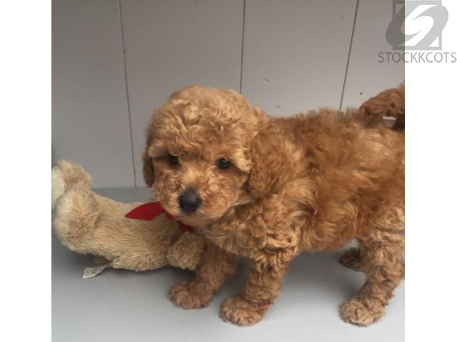 Home Raised Toy Poodle Puppies Adoption Whatsapp 56410344 Free
