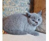 Home Raised British Shorthair Kittens  Available for adoption