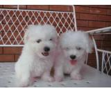 Playful Bichon Frise Puppies For Sale