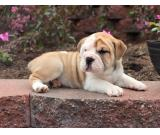 Chunky British Bulldogs Red/white FOR SALE
