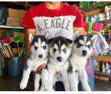 Beautiful 10 wks old Siberian Husky pups ready