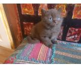 compassionate Blue British Shorthair Kittens For Sale