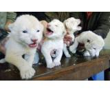 Cheetah Cubs, Lion Cubs and Tiger Cubs for sale -