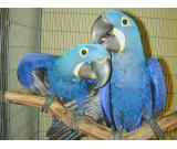 Talking Pair of Hyacinth Macaw Parrots $3000