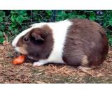 Beautiful and Cute Guinie pig available in Noida