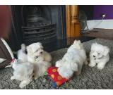 Class Maltese Puppies Available