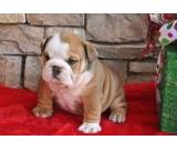 Two Healthy Tiny English Bulldog Puppies