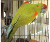 sold ! 6/7/15 red fronted mini macaw