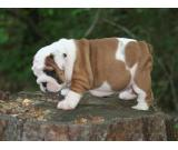 Astonishing and Welcoming BULLDOG puppies ready