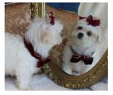 Pure white Maltese puppies for sale