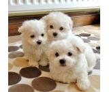Cuddly Little Male Maltese Puppy