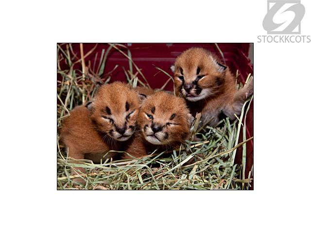 Baby Caracals For Sale Baby Caracal Kittens And