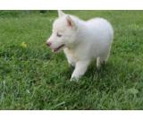 Playfull Husky puppies available for new homes (313) 335-9476