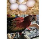 Fertile parrots eggs and babies for sale