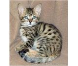 Adorable Savannah - Serval - Ocelot - Caracal Kittens for sale