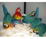 hand feed macaw parots for sale