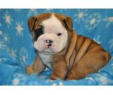 GORGEOUS MALE ENGLISH BULLDOG PUPPY!!RICO
