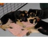 Healthy German Shephard puppies