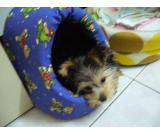 T cup Yorkie puppies available for adoption