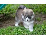 Pomsky puppies ready to be re-home to lovely home.