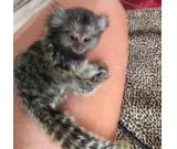Marmoset monkeys and Capuchin monkeys for adoption.