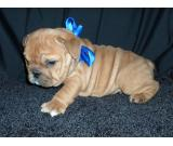 6 weeks old Emglish Bulldog puppies for sale