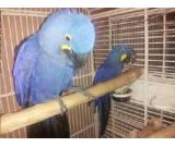 Hyacinth Macaw Breeder Pairs on sale