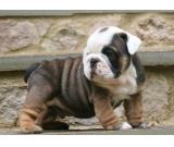 English Bulldog Puppies for Good Homes