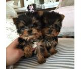 Quality Akc Registered Male And Female Tea Cup Yorkshire Terrier Puppies.