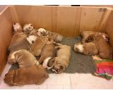 Pure Breed Akc Reg English Bulldog Puppies For Adoption!
