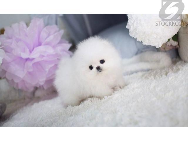 All *White* Pomeranian *Puppy* re*homing!!whats app us on +1