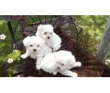 Two teacup Maltese puppies need a new family