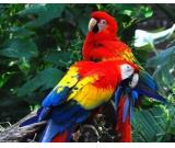 Gorgoeus and rare scarlet macaw parrots with nice colours