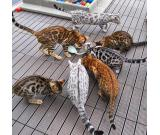 Quality Bengal Kittens Available.