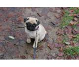 Adorable Pug/Mops Puppies for adoption
