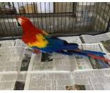 Scarlet Macaw Parrots on Sale