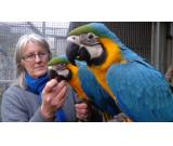 Charming Blue and gold macaw parrots