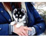 Beautiful, female and male available 11weeks old husky puppies