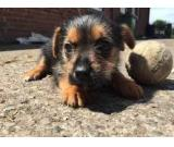 Free Yorkshire terrier puppies ready for adoption
