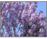 association paulownia