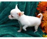 Beautiful AKC Teacup Chihuahua Puppies Available