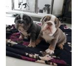 Quality Kc Reg English Bulldog Puppies For Adoption