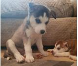 Beautiful Kc Registered Siberian Husky Puppies For Adoption